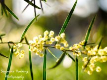 The Wattle flower. The floral emblem of Australia.