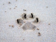 Paw-print in the sand