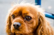 The Cavalier King Charles Spaniel. A more beautifully natured breed would be hard to find.
